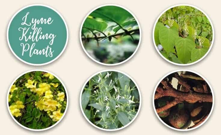Lyme Killing Plants - Natural Lyme Disease Treatment